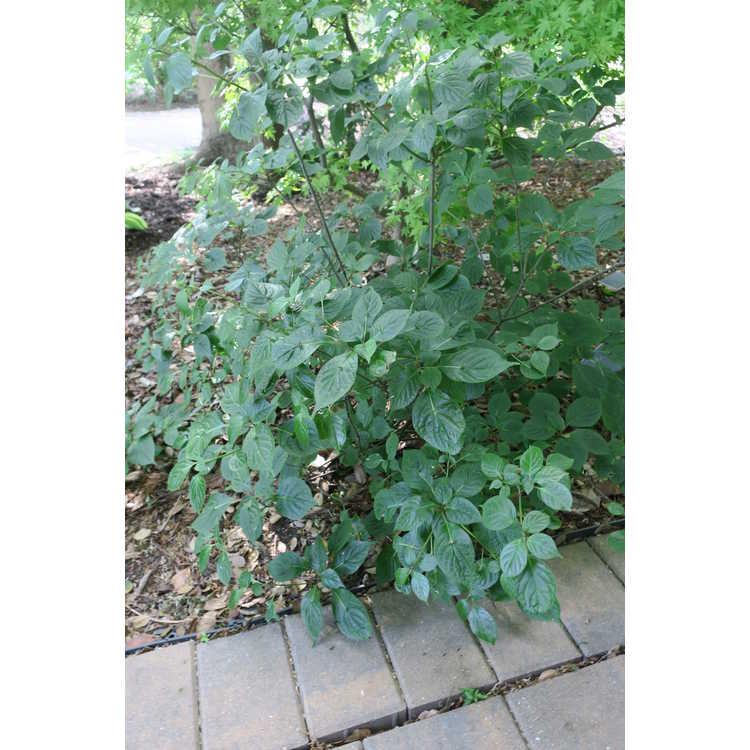 Helwingia japonica var. japonica - Japanese helwingia