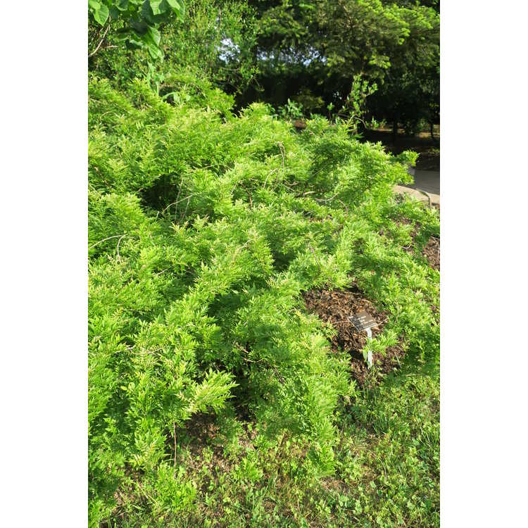 Wisteria sinensis 'Kofuji'