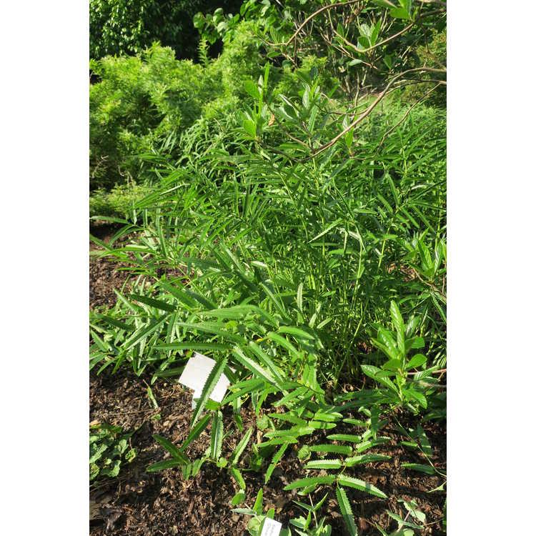 Sanguisorba tenuifolia 'Korean Snow'
