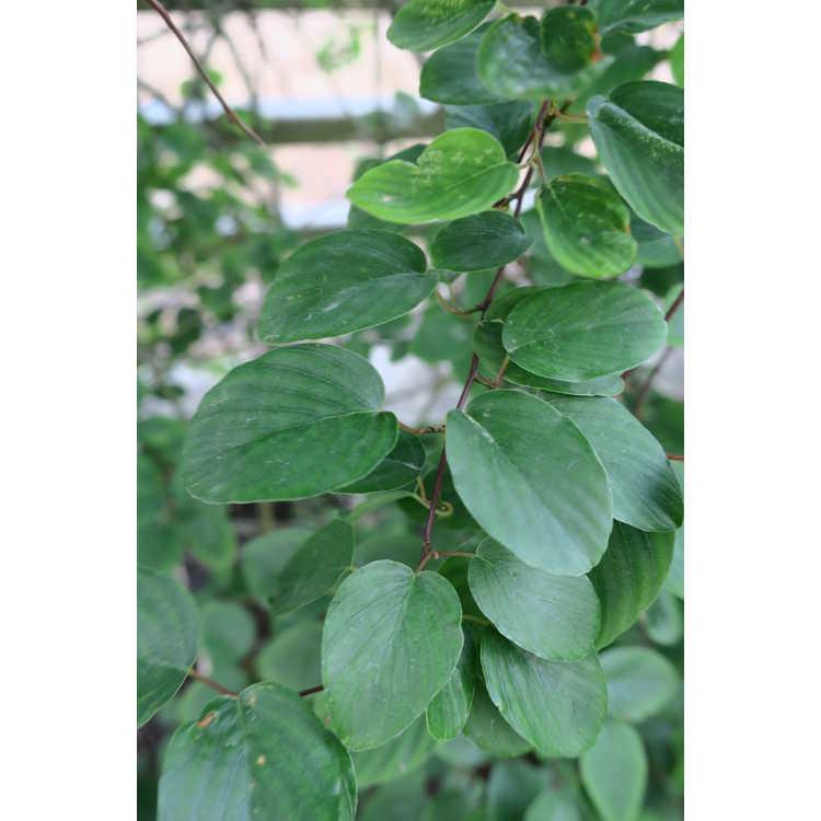 Berchemia japonica