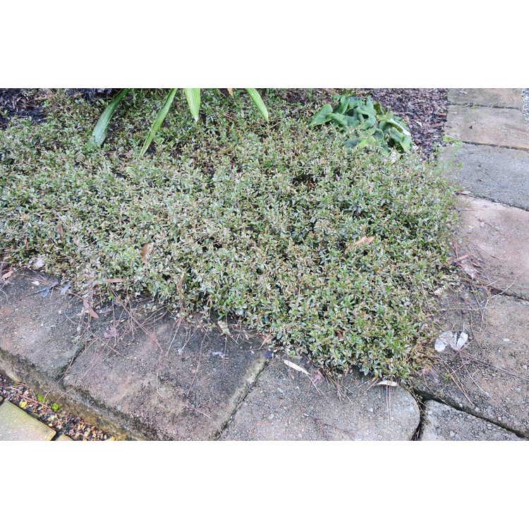 Trachelospermum asiaticum 'Chirimen'