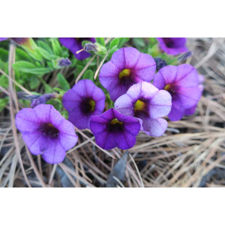 Calibrachoa Superbells Plum Improved