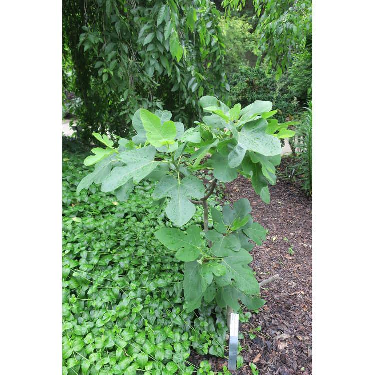 Ficus carica 'Chicago Hardy'