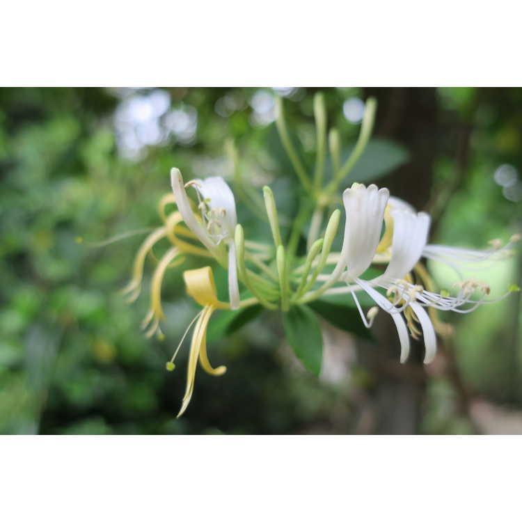 Lonicera similis var. delavayi