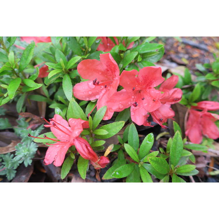 Rhododendron indicum 'Flame Creeper'