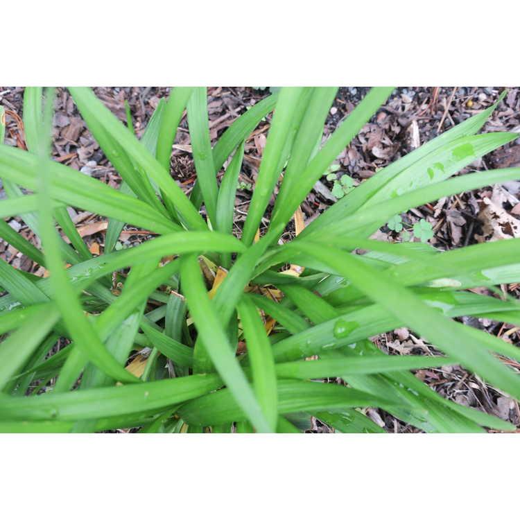 Liriope muscari 'Exc 051' - Purple Explosion purple explosion liriope