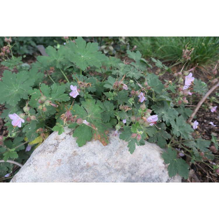 Geranium macrorrhizum 'Ingwersen's Variety' - bigroot geranium