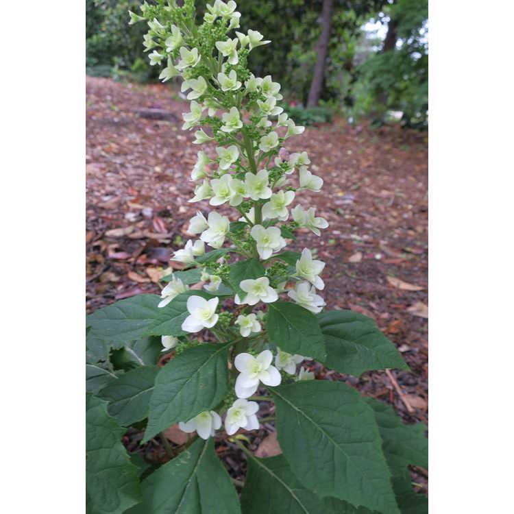 Hydrangea quercifolia Brido Snowflake