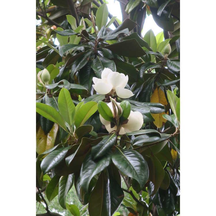 Magnolia grandiflora 'Victoria'