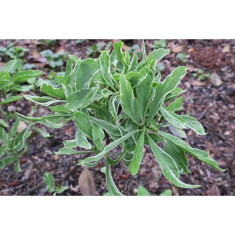 Illicium floridanum 'Grey Ghost'