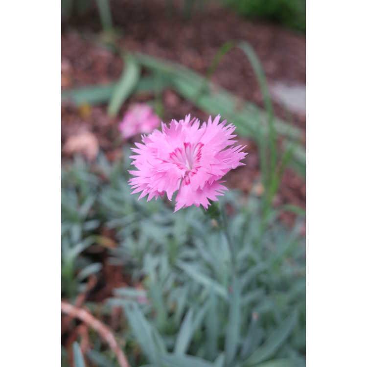 Dianthus plumarius 'Rose Tone' - feathered pink