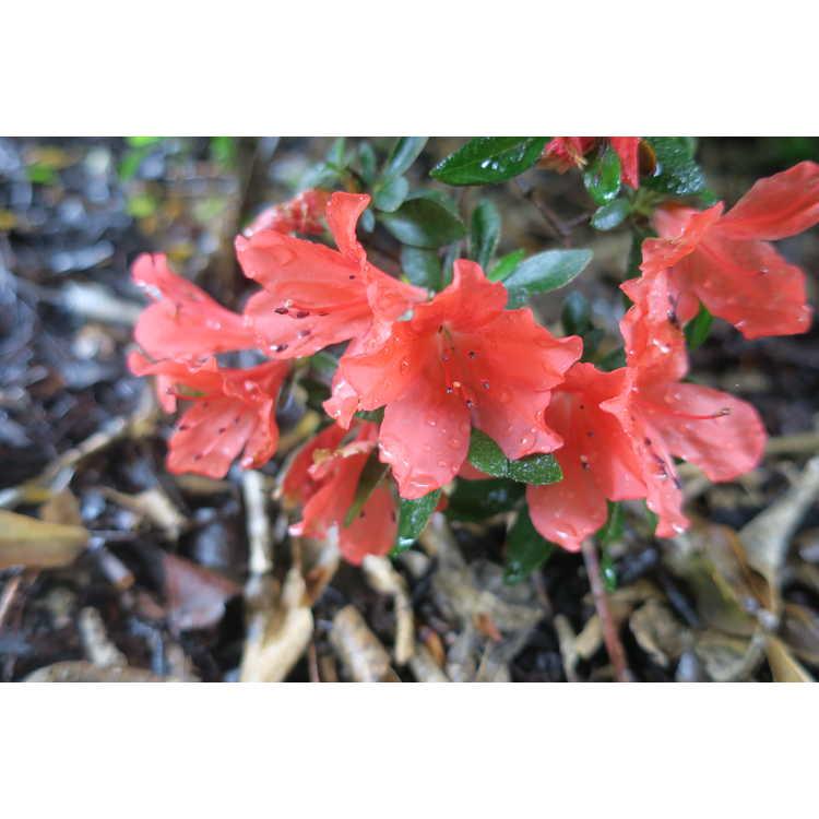 Rhododendron 'Hotline'