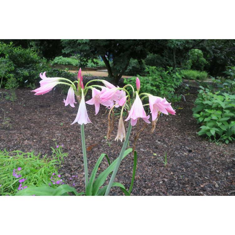 Crinum 'Pink Flamingo'