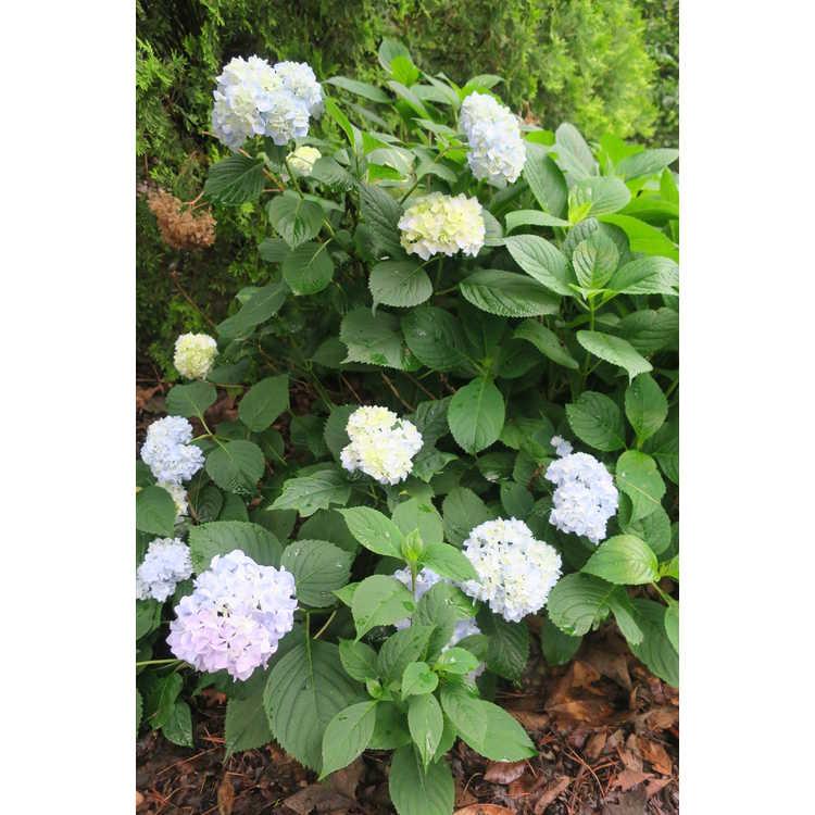 Hydrangea macrophylla 'Dooley' - mophead French hydrangea