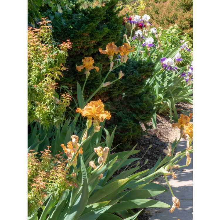 Iris 'Golden Panther' - tall bearded iris