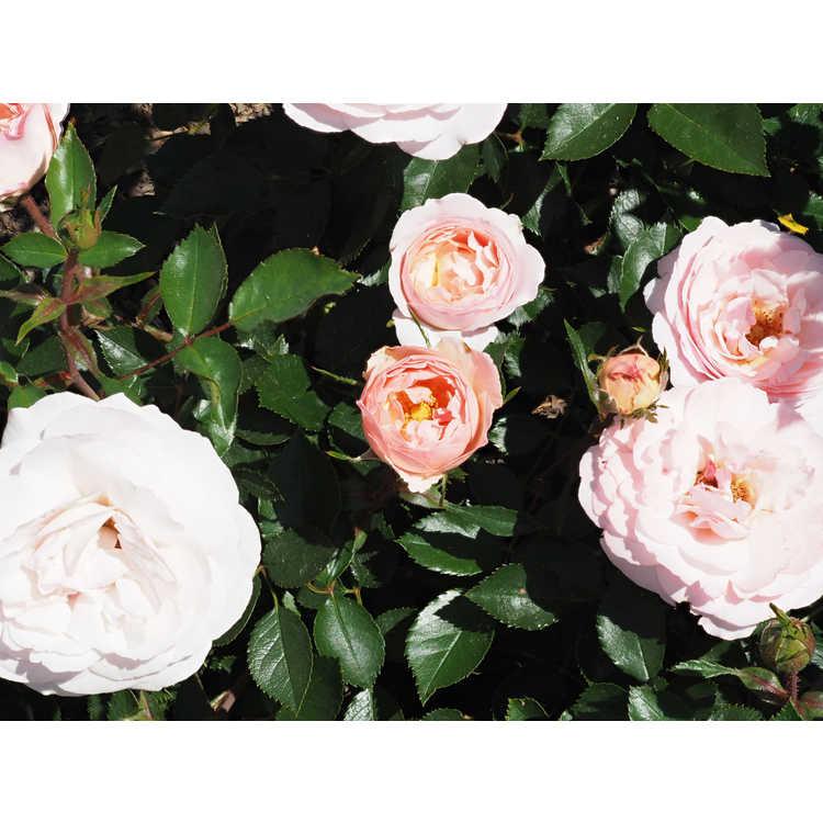 Rosa 'Baiypso' - Easy Elegance Calypso compact shrub rose