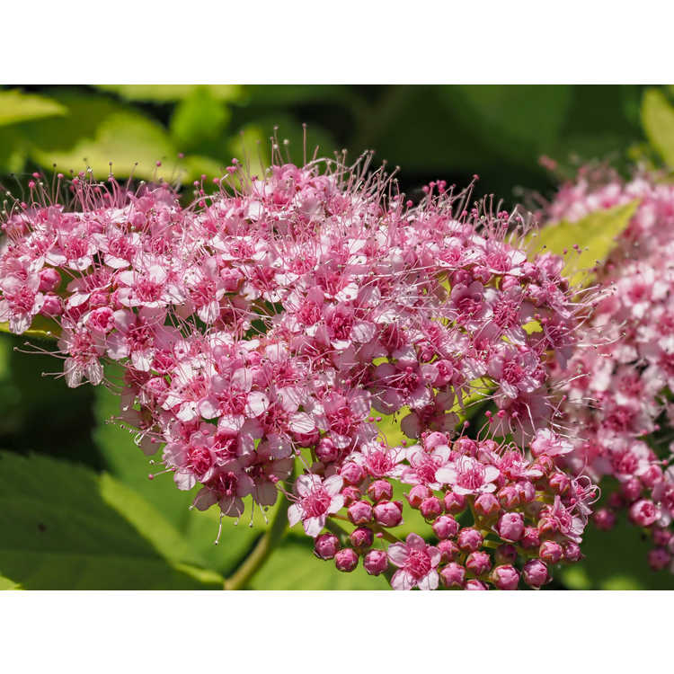 Spiraea japonica Tracy Double Play Big Bang