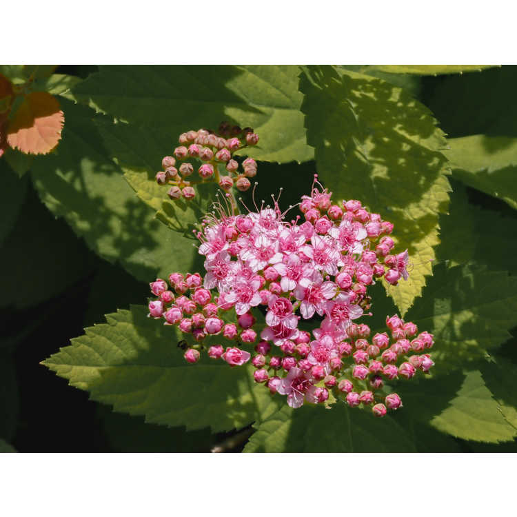 Spiraea japonica 'Tracy' - Double Play Big Bang Japanese spiraea