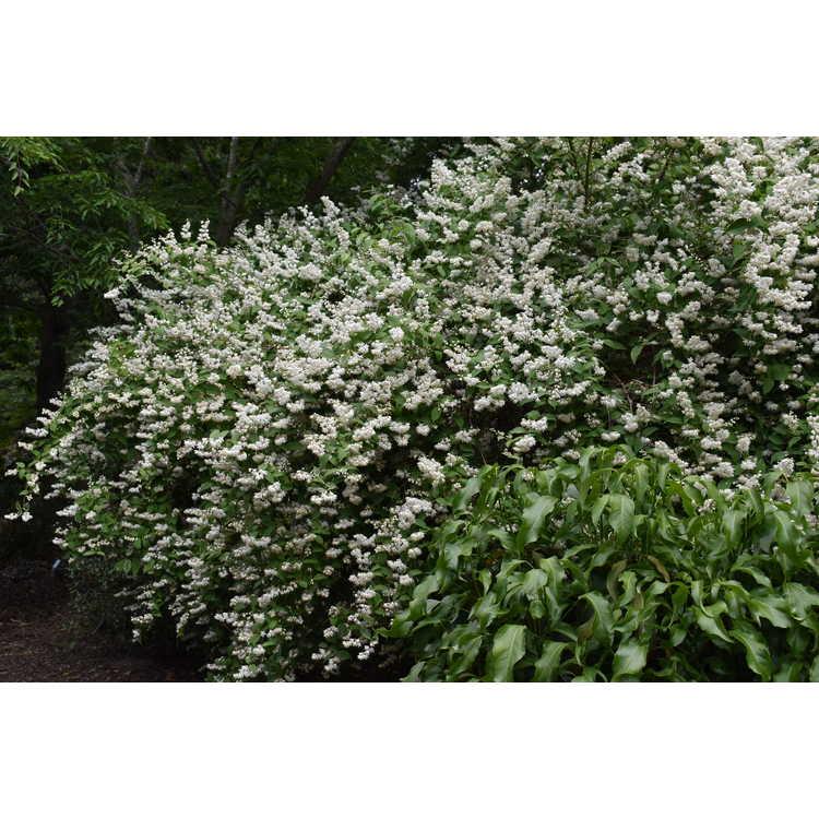 Deutzia gracilis 'Variegata' - variegated deutzia
