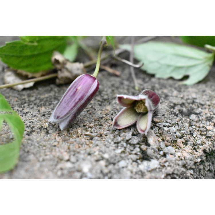 Clematis japonica - clematis