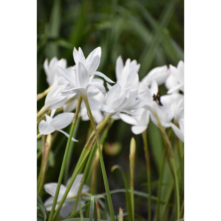 Zephyranthes drummondii - giant prairie lily
