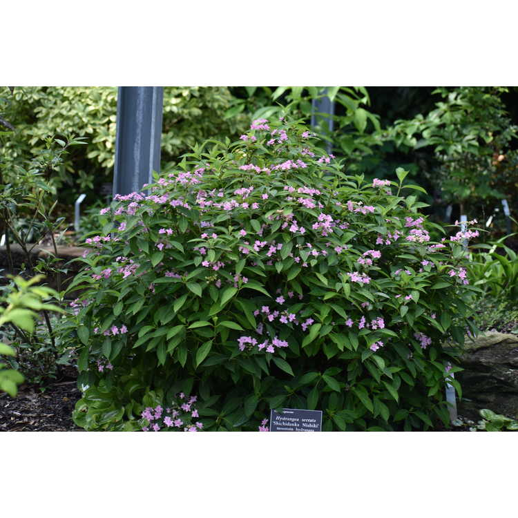 Hydrangea serrata 'Shichidanka Nishiki' - mountain hydrangea