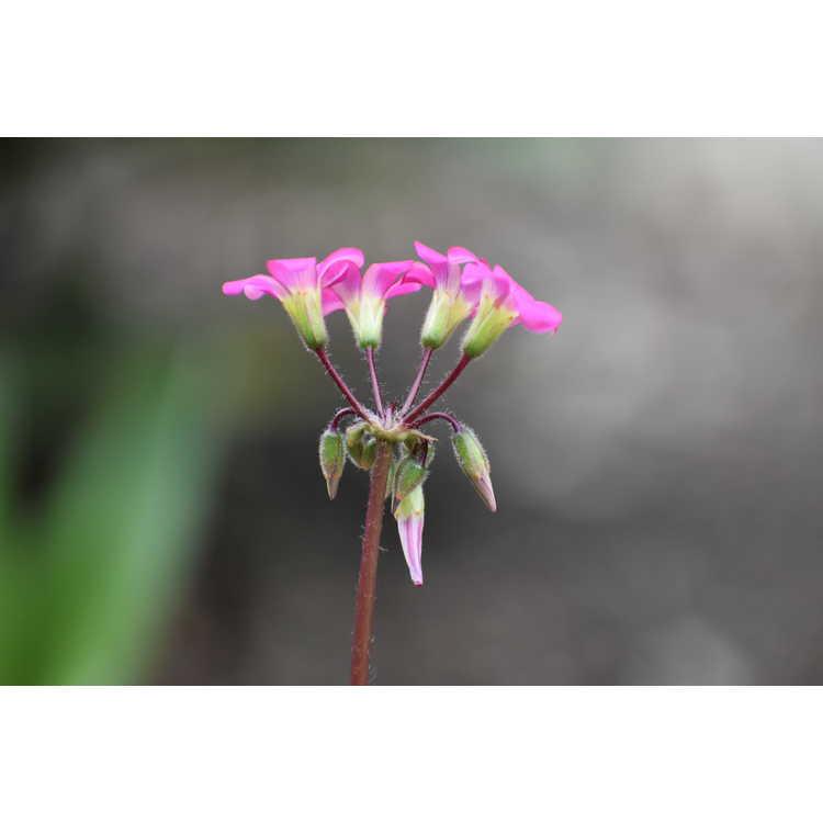 Oxalis lasiandra