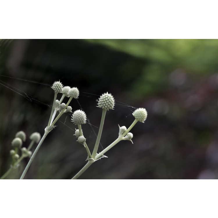 Eryngium eburneum - South American sea holly