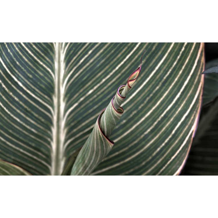 Canna 'Minerva' - variegated canna