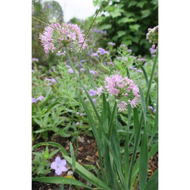 Allium 'Pink Planet'