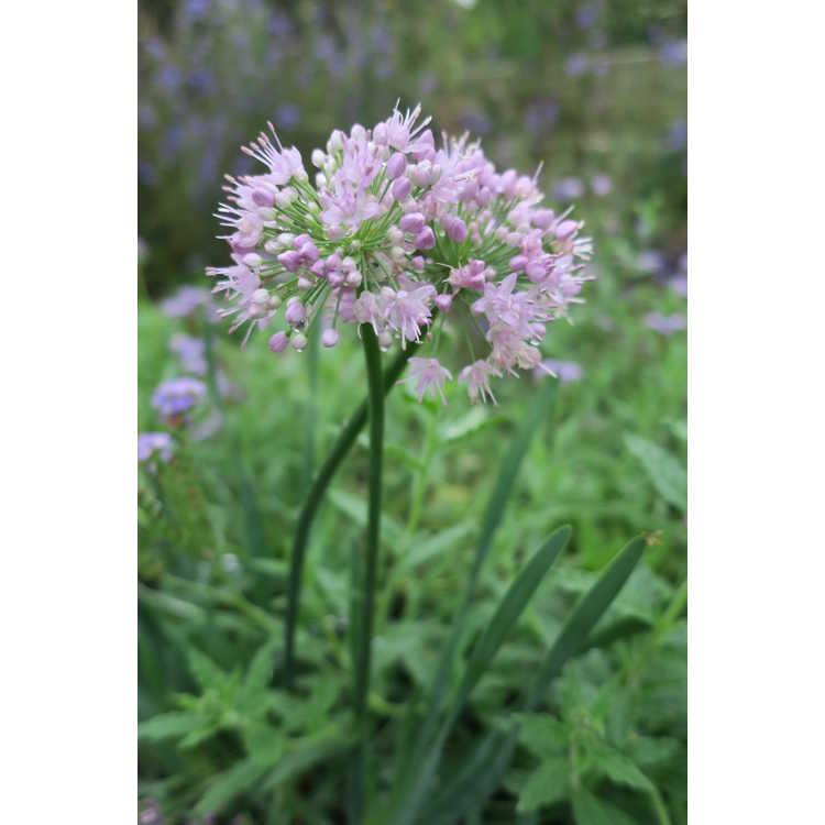 Allium Pink Planet