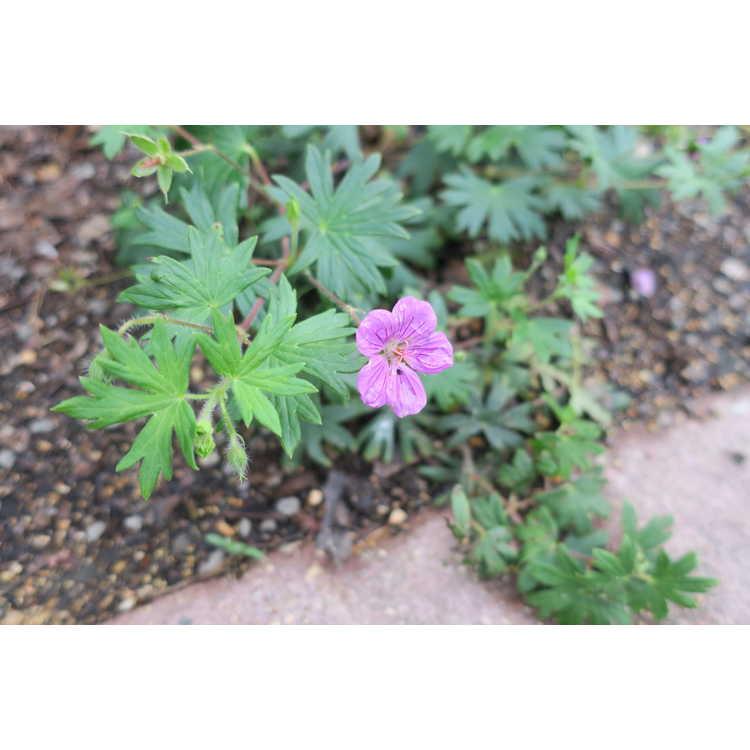 Geranium 'Tiny Monster' - hardy geranium