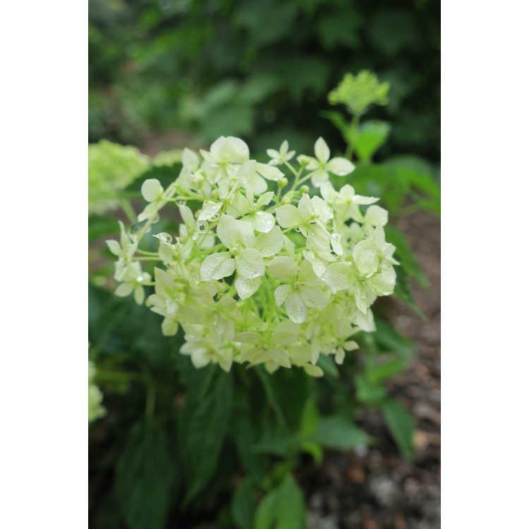 Hydrangea arborescens 'Ncha8'