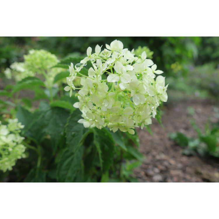 Hydrangea arborescens Ncha8