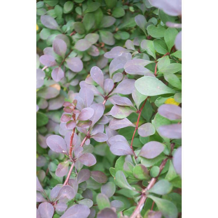 Berberis thunbergii var. atropurpurea 'Marshall's Upright' - upright purple-leaf Japanese barberry