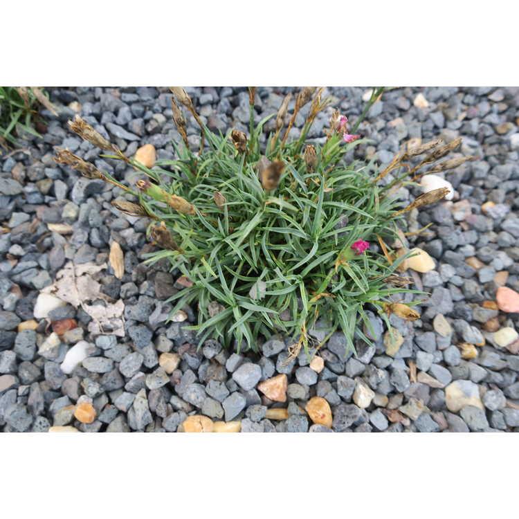 Dianthus 'Hilbeanaom'