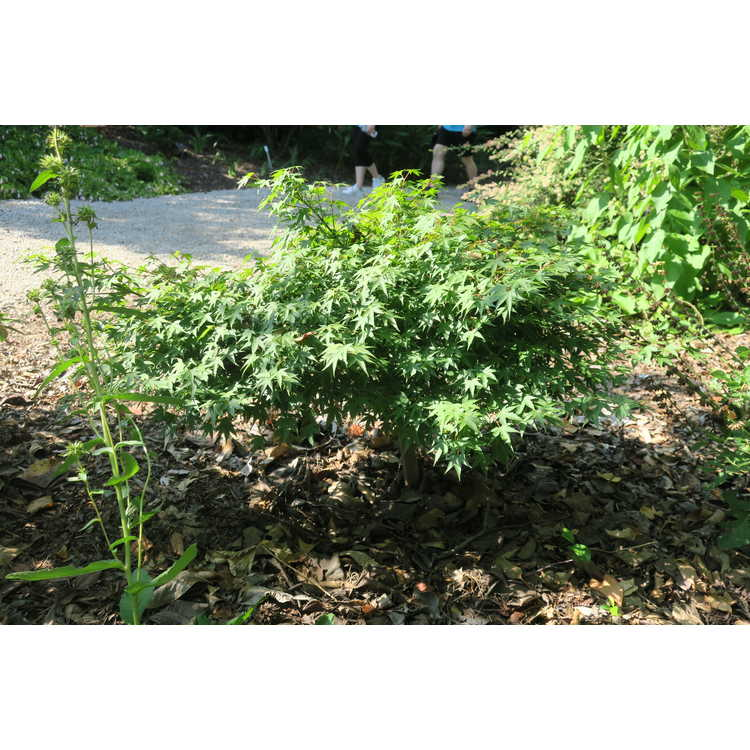 Acer palmatum 'Tama Hime'