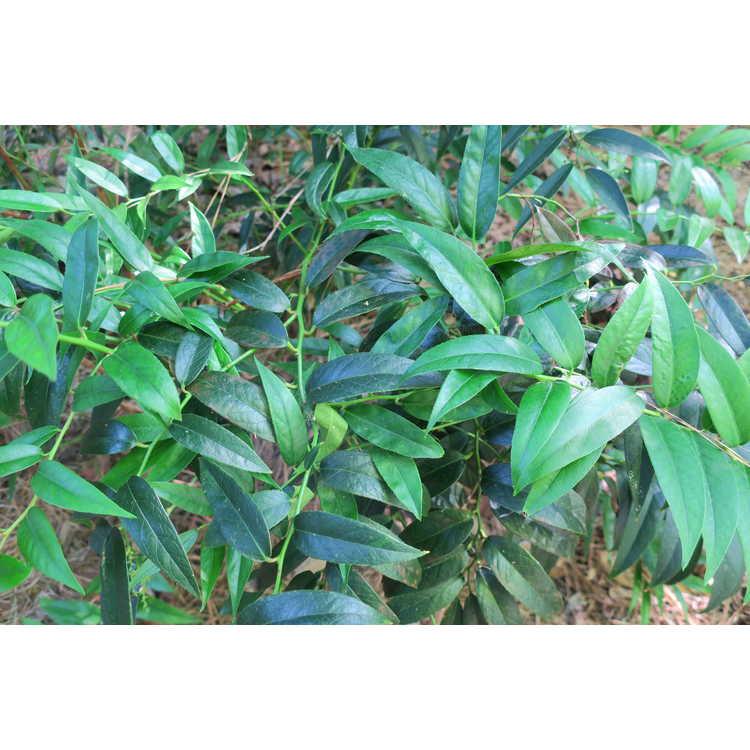 Leucothoe keiskei 'Royal Ruby' - dwarf leucothoe
