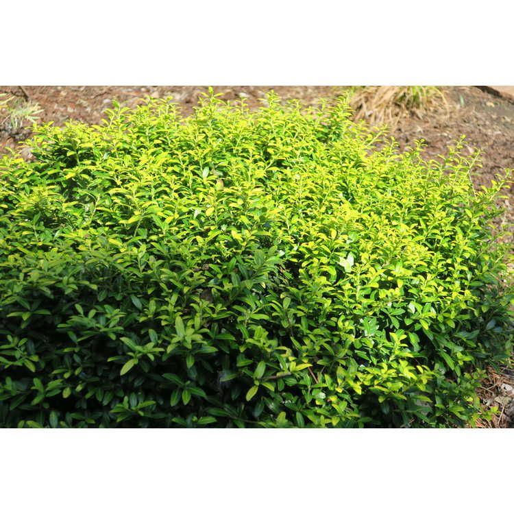 Ilex crenata 'Golden Soft Touch'