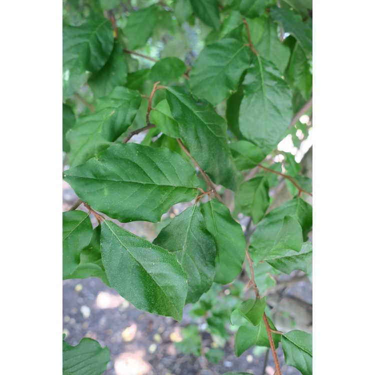 Elaeagnus multiflora 'Bikkuri Gumi' - cherry eleagnus