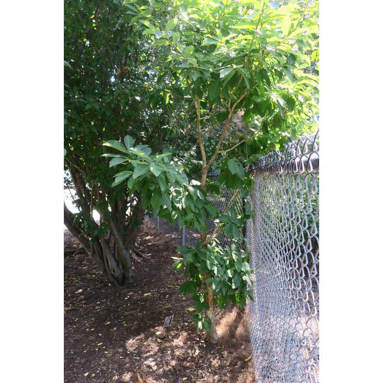 Quercus mongolica var. grosseserrata