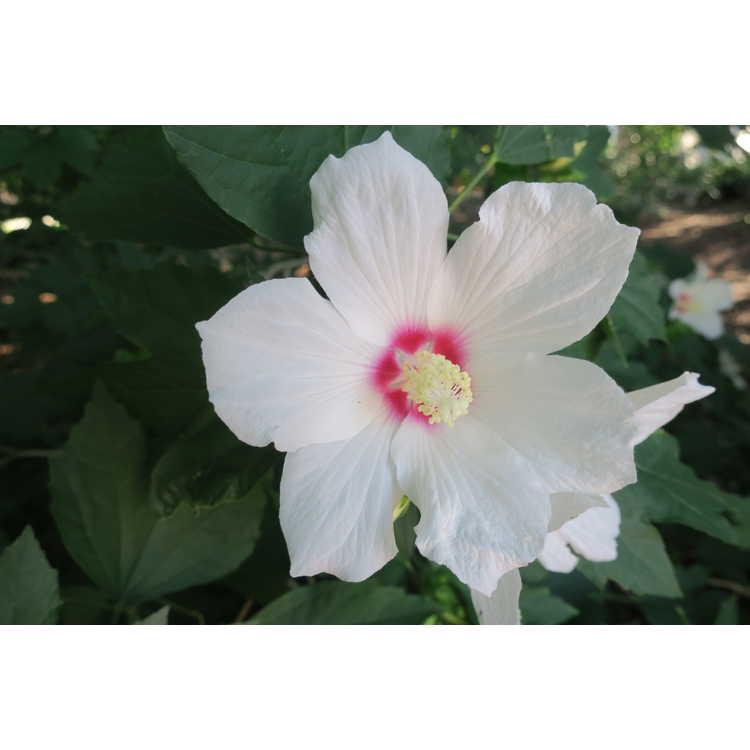 Hibiscus 'Lohengrin'