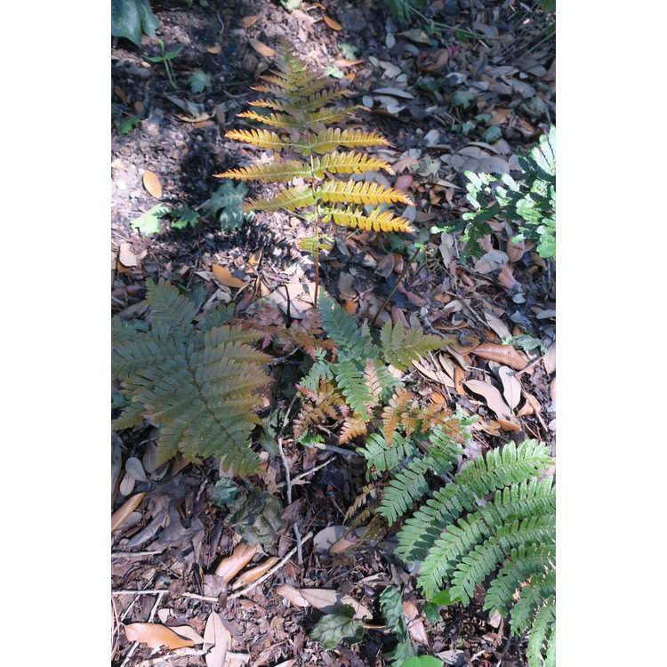 Dryopteris erythrosora 'Radiance'