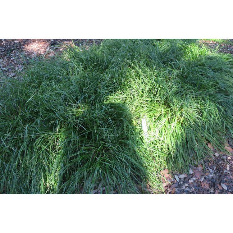 Carex amphibola