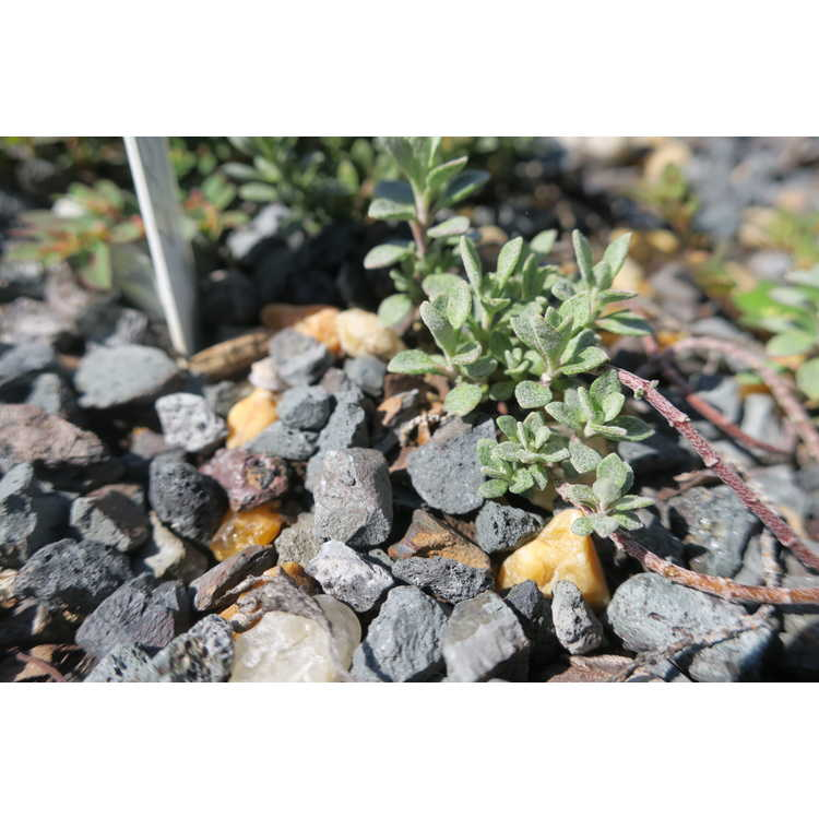 Alyssum wulfenianum