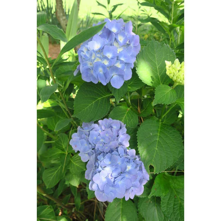 Hydrangea macrophylla Early Sensation Forever & Ever