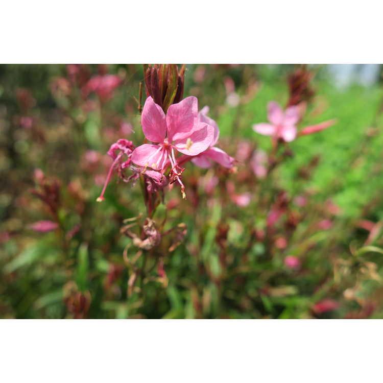 Gaura lindheimeri 'Petite Pink'
