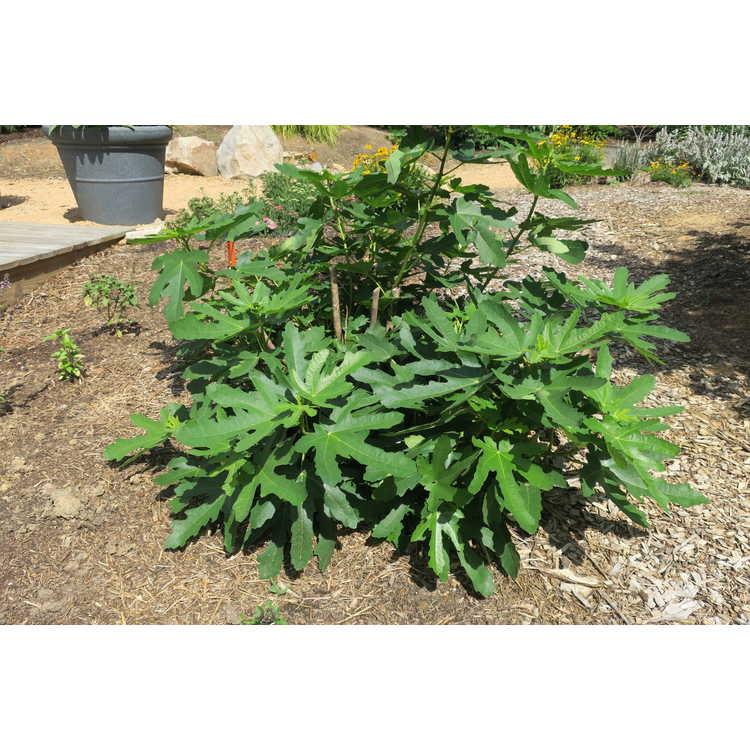 Ficus carica 'Majoam'