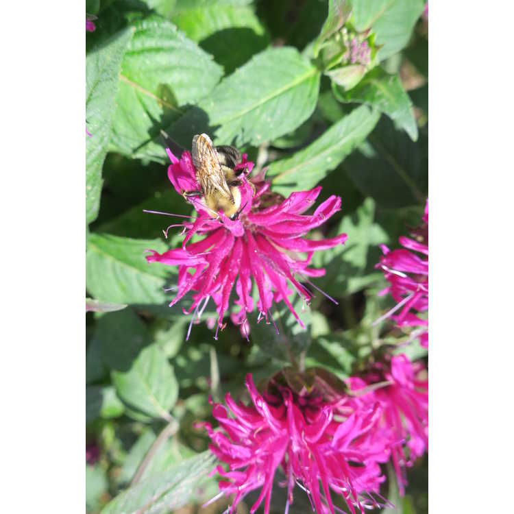 Monarda didyma 'Balmy Purple' - bee balm
