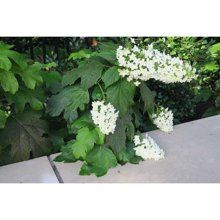 Hydrangea quercifolia 'Brido' - Snowflake oakleaf hydrangea